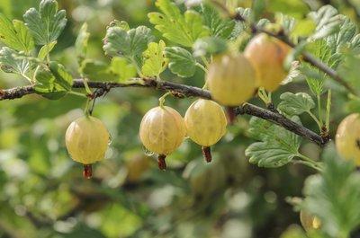 Ribes uva-crispa 'Tatjana' 2 Ltr pot