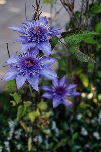 Clematis 'Multi Blue' - 2 Ltr pot