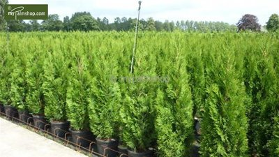 Thuja occidentalis Smaragd (CONTAINERPLANT) - total height 80-100 cm - pot 4 ltr