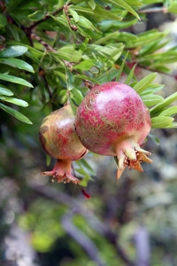 Punica granatum Pleniflora pot Ø 17 cm