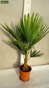 Trachycarpus fortunei - totale hoogte 70-90 cm (Ø 22 cm pot)