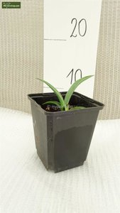 Yucca baccata 0.7 ltr.
