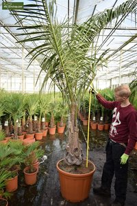 Butia nabonnandii (Butyagrus) - trunk 50-70 cm - total height 320+ cm - pot Ø 65 cm [pallet]