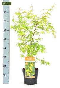 Acer palmatum Katsura total height 50-60 cm - pot 3 ltr