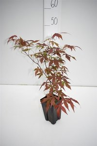 Acer palmatum Atropurpureum-dark purple - total height 30-40 cm - 9x9 cm pot