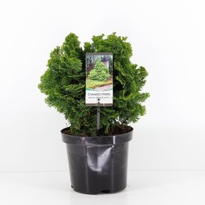 Chamaecyparis obtusa Nana Gracilis -  total heigth 40-50 cm - pot 5 ltr