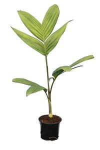 Pinanga kuhlii - total height 60-80 cm - pot Ø 13 cm