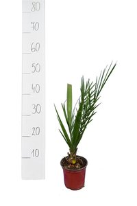 Phoenix theophrastii - total height 30-40 cm - pot Ø 13 cm