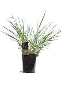 Panicum virgatum Squaw - pot 5 ltr