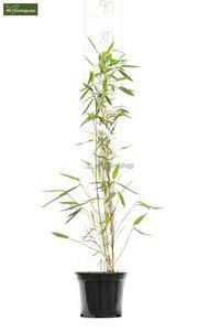 Fargesia nitida Black Pearl - total height 50-70 cm - pot 1 ltr