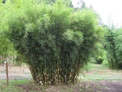 Fargesia robusta Wolong - total height 60+ cm - pot 1 ltr