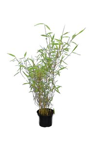 Fargesia nitida Great Wall - total height 60-80 cm - pot 2 ltr