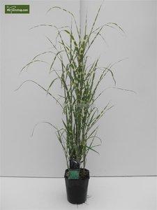 Miscanthus sinensis Strictus - pot 5 ltr