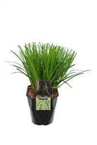 Carex Evergreen - pot 5 ltr
