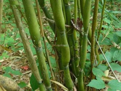 Pseudosasa japonica - total height 150+ cm - pot 5 ltr