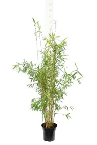Fargesia nitida Great Wall - total height 110-130 cm - pot 5 ltr
