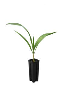 Syagrus romanzoffiana sp. Santa Catarina - total height 40+ cm - pot 0.7 ltr