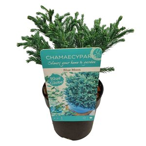 Chamaecyparis pisifera Blue Moon - total height 20+cm - pot 10 cm