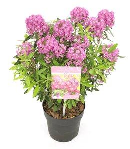 Kalmia angustifolia Rubra - total height 30+ cm - pot Ø 15