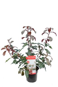 Photinia Magical Volcano - total heigt 60-80 cm - pot 3 ltr