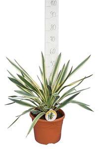 Yucca gloriosa Variegata - total height 60-70 cm - pot Ø 26 cm
