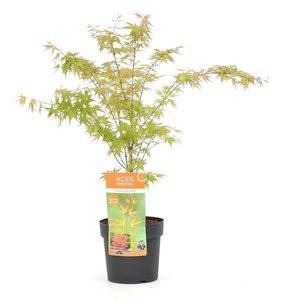 Acer palmatum Wilson's Pink Dwarf - total height 50-70 cm - pot 3 ltr