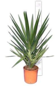 Yucca Elegans totale hoogte 110-130 cm