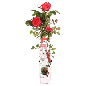 Rosa Crazy in Love climbers Red 2 ltr