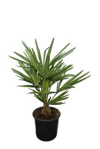 Trachycarpus fortunei - trunk 15+ cm - total height 70-90 cm - pot Ø 20 cm