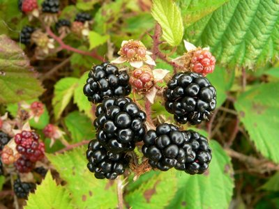 Rubus fruticosus sp. Black Satin 2 ltr pot