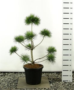 Pinus sylvestris multiplateau - total height 100-125 cm