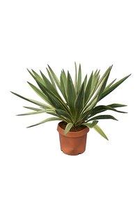 Yucca gloriosa Variegata - totale height - pot Ø 20 cm
