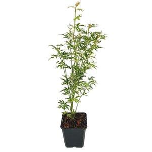 Acer palmatum Butterfly - total height 50-60 cm - pot 3 ltr