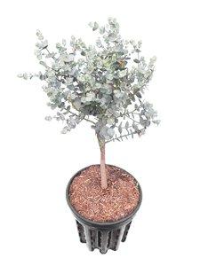 Eucalyptus gunnii Azura - total height 60+ cm - pot 5 ltr