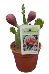 Opuntia vulgaris - total height 20-40 cm - pot Ø 13 cm