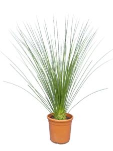 Dasylirion longissimum Ø 32 cm pot