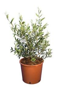 Olea europaea - Wild Form - total height 60-80 cm - pot Ø 26 cm