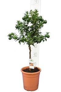 Citrus myrtifolia - trunk 30-40 cm - total height 70-100 cm - pot 20 cm