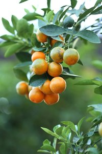 Citrus Kumquat - stam 30-40 cm - total height 70-100 cm - pot Ø 22 cm