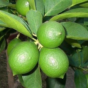 Citrus latifolia - trunk 30-40 cm - total height 70-100 cm - pot 22 cm