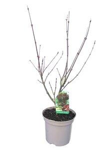 Acer palmatum Fireglow - pot 3 ltr