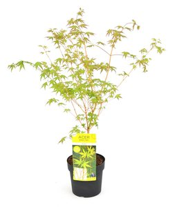 Acer palmatum Bi hoo - totale height 60-80 cm - pot 3 ltr