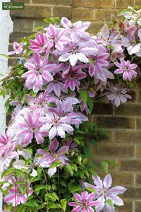 Clematis Nelly Moser - 2 Ltr pot