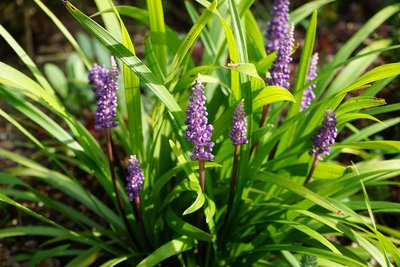 Liriope muscari Moneymaker - total height 30-40 cm - pot 2 ltr