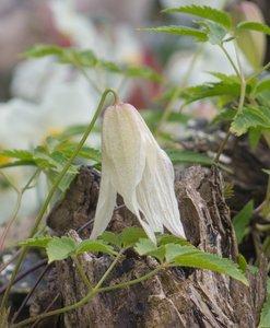Clematis alpina Albina Plena - pot 2 ltr