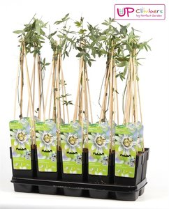 Passiflora caerulea pot 2 ltr