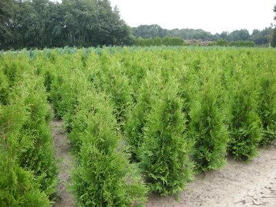1x Thuja occidentalis Brabant (ROOTBALL) - Plant size 140-160 cm [pallet]