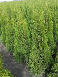 5x Thuja occidentalis Smaragd (ROOTBALL) - Plant size 60-80 cm [pallet]