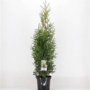 Thuja King of brabant - total height 110-130 cm - pot 3 ltr