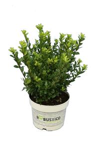 Ilex crenata Robustico - total height 40-50 cm - pot 2 ltr
